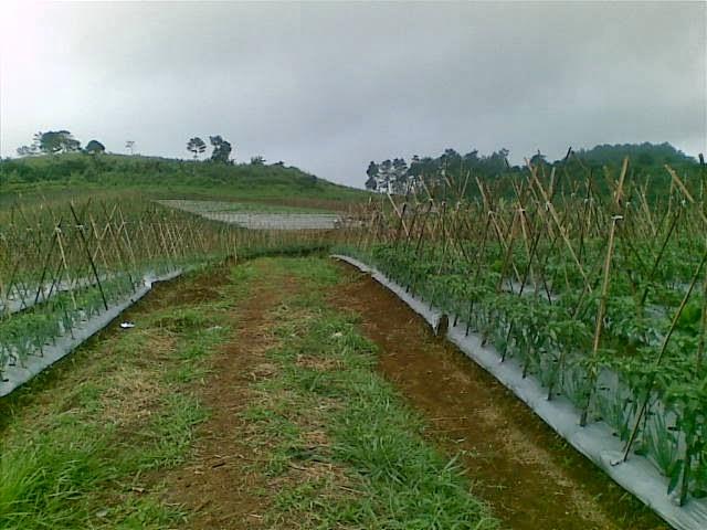 Foto(5194) Jual Tanah Milik | Kebun 23 Ha, Lokasi Puncak jual tanah di puncak