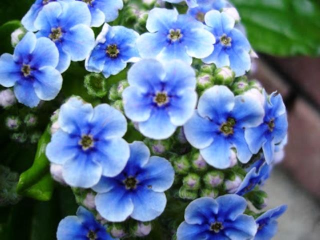 Pics Of Beautiful Blue Flowers