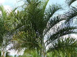 Dypsis madagascariensis - Palmier plume de Madagascar