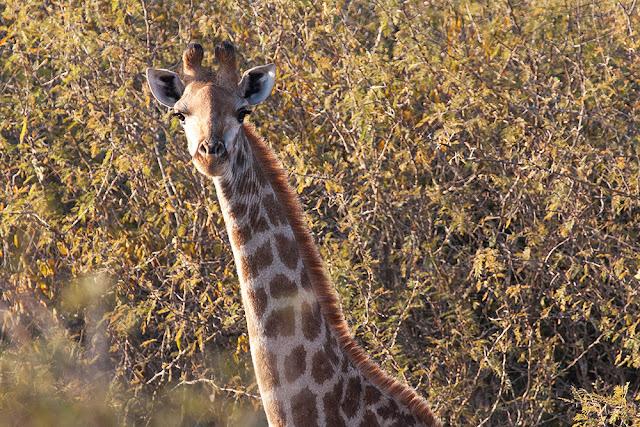 giraffa kruger safari sud africa