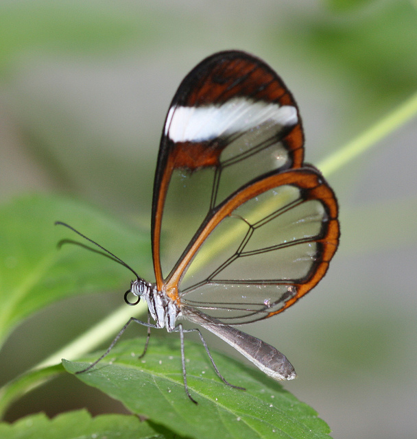 The Incredible Glasswing Butterfly The Ark In Space