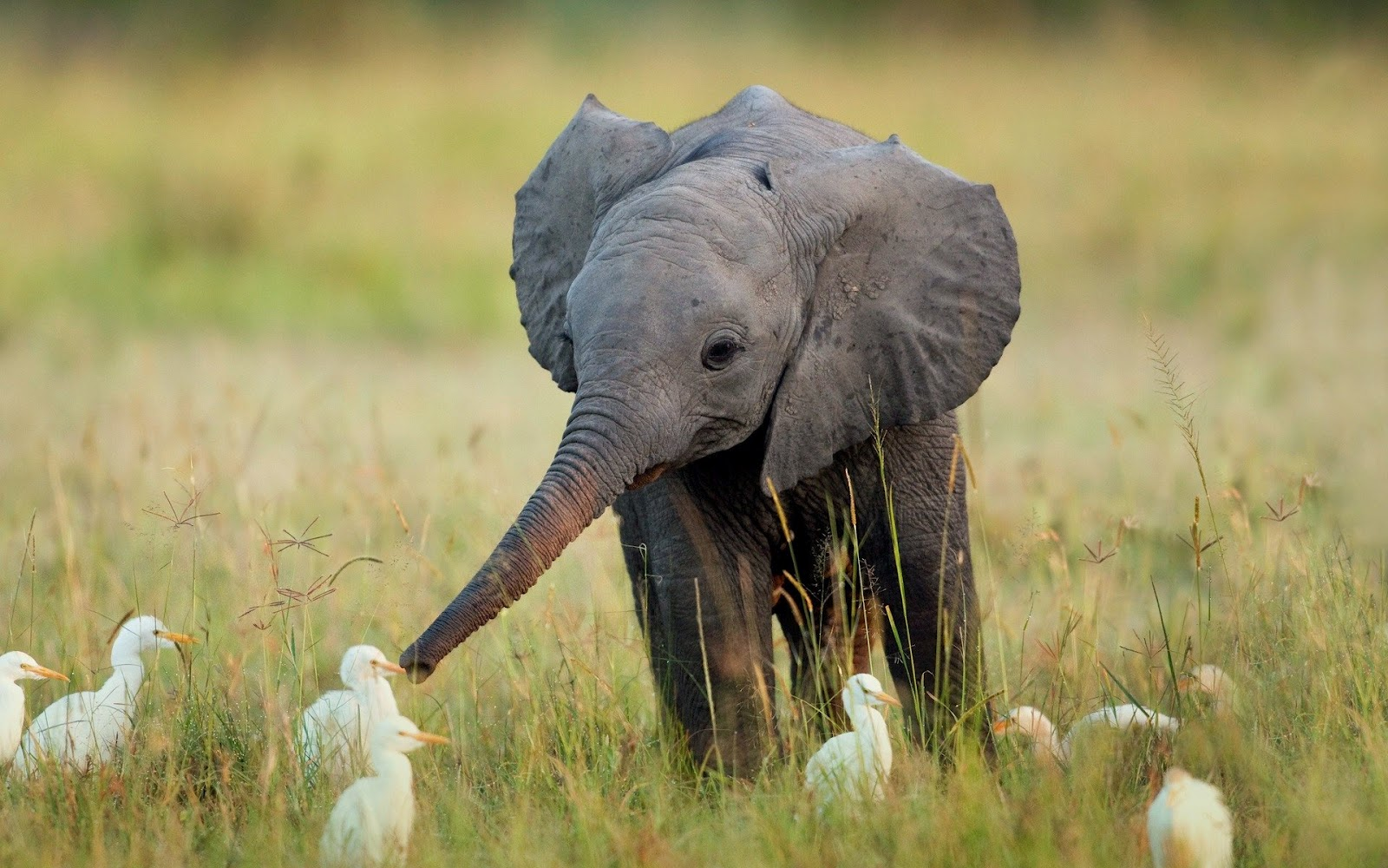 Beautiful Pictures Of Elephant In Hd Image Wallpaper Theme