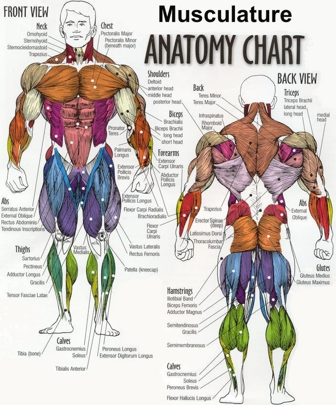 Weight Lifting: Target Muscles