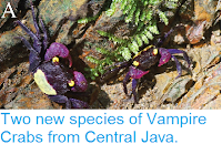http://sciencythoughts.blogspot.co.uk/2015/02/two-new-species-of-vampire-crabs-from.html