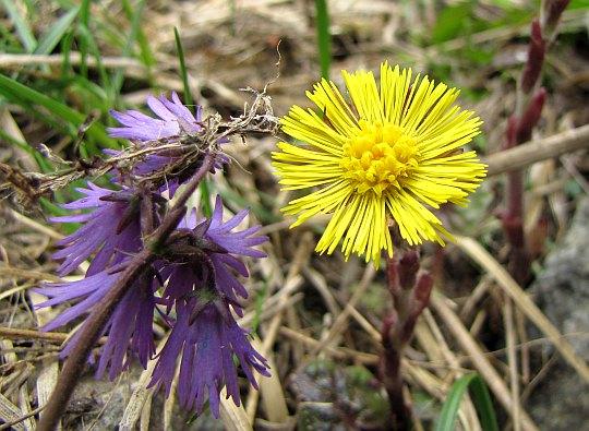 Urdzik karpacki (Soldanella carpatica) i podbiał pospolity (Tussilago farfara).