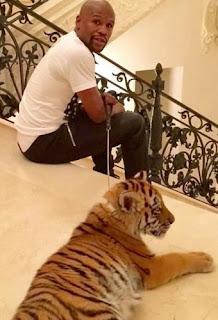 Floyd Mayweather Tiger