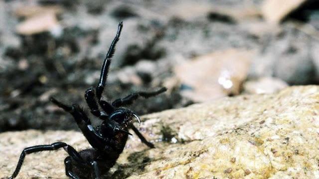 Dibalik Ngerinya Laba-laba Mematikan Australia, Ternyata Hewan ini Efektif Bunuh Sel Kanker Ganas