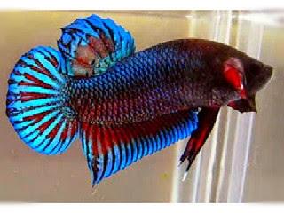 Download 58 Gambar Ikan Cupang Sungai HD Gratis