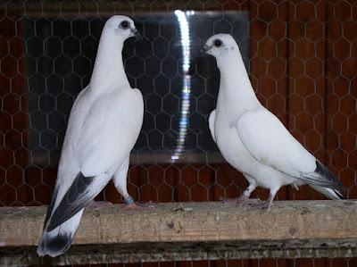 austruia pigeons - Wiener Hochflieger