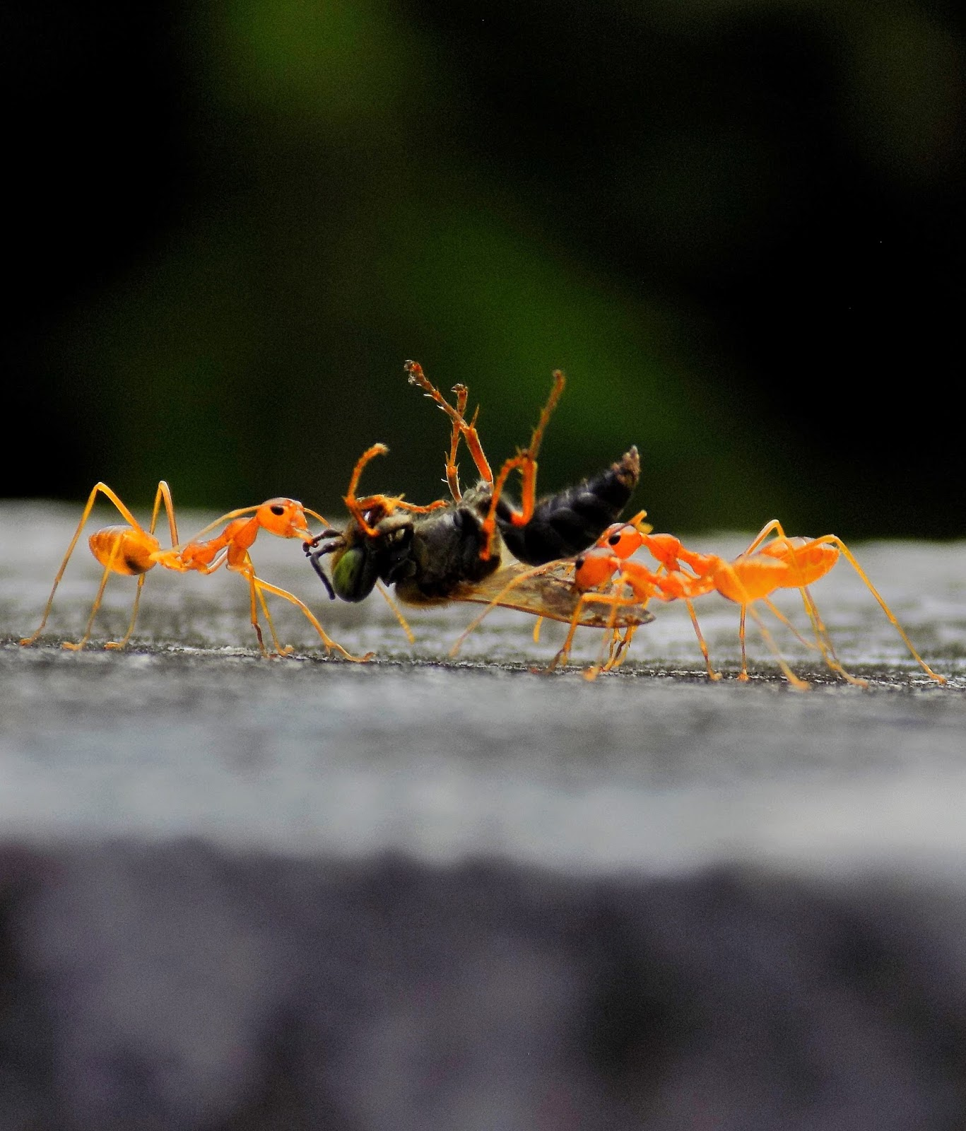 Ants carrying dead insects.