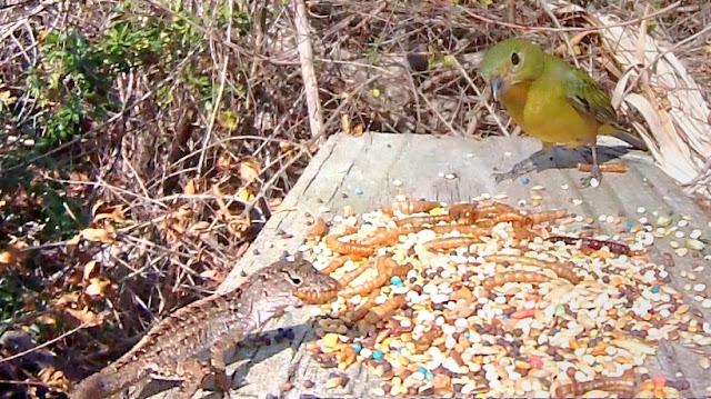 Brave Lizard Joins Birds at Feeder