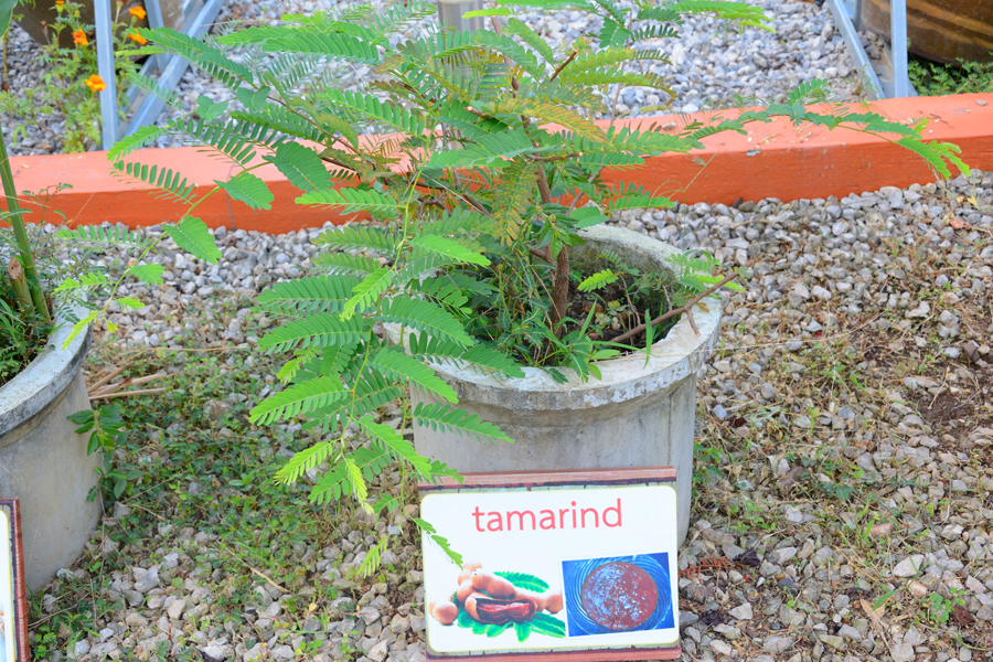 khao sok thailand, tamarind