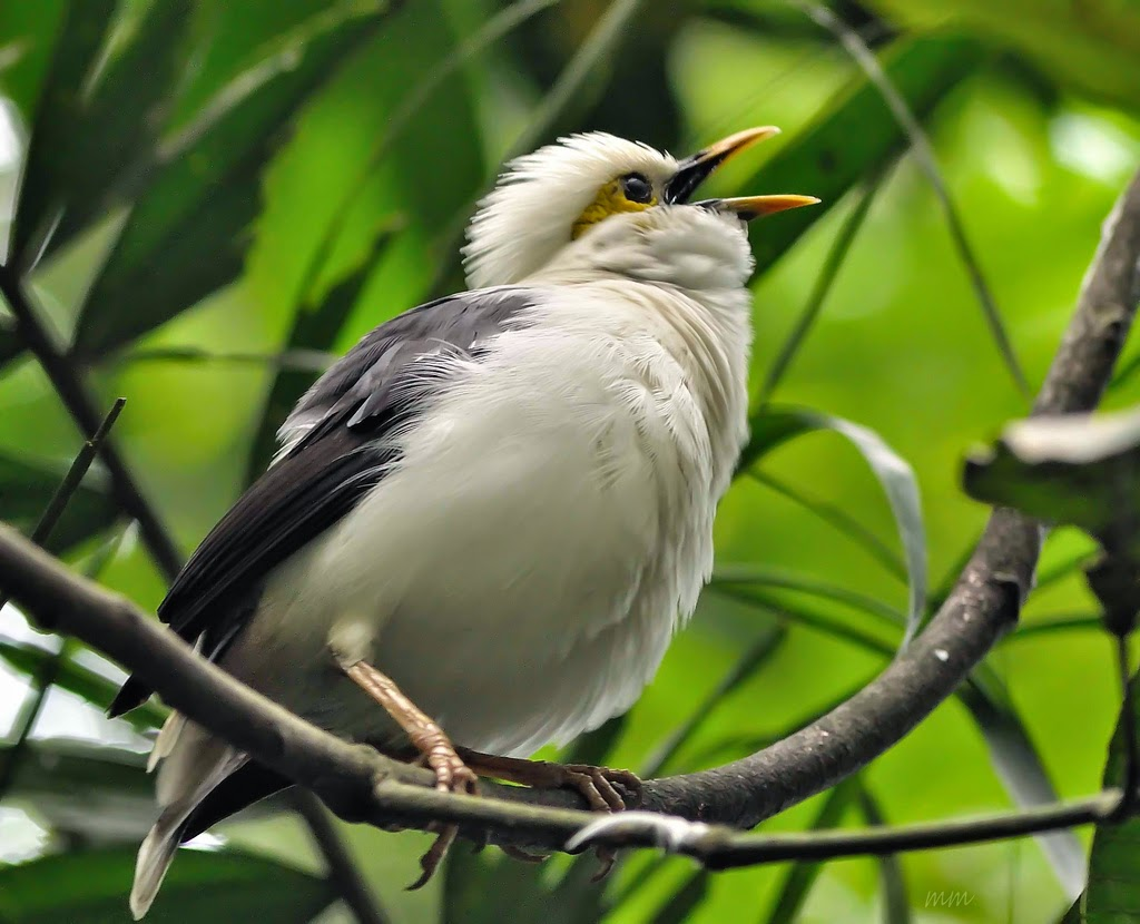 Foto Burung Jalak Putih