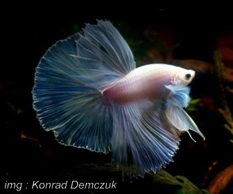 Jenis Ikan Cupang hias Betta Splendens