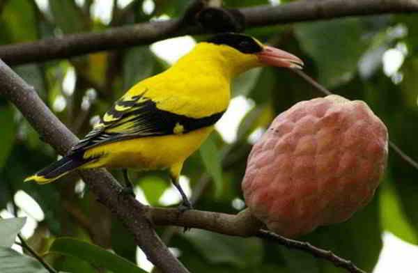 Makanan Burung Kepodang Agar Rajin Berkicau