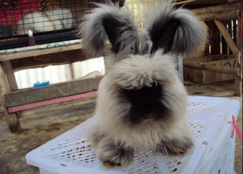 Jenis-jenis Kelinci berbulu tebul untuk Dipelahara di Rumah