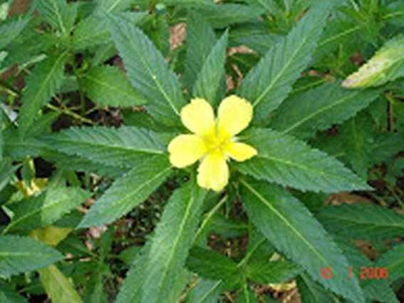 Resep obat tradisional asam urat Tanaman Sidagiri