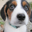Will All Bagel's Beagle Puppies Find their Forever Homes?