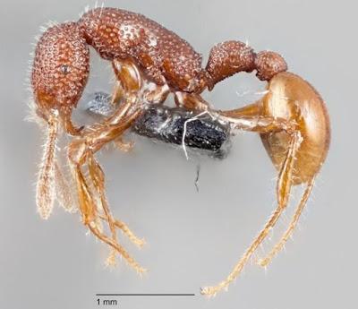 Semut T. Rex Langka Telah Ditemukan di Singapura