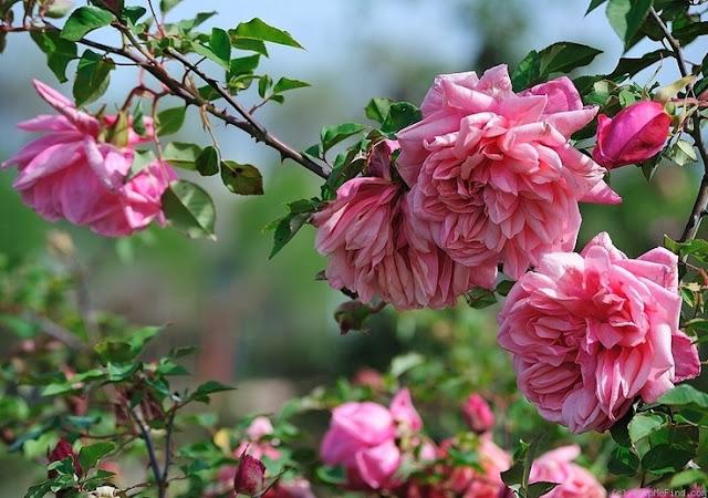 Rosa%2BGeneral%2BSchablikine.jpg
