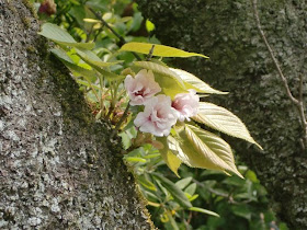 八重一重咲分桜(御車返し)
