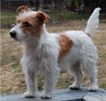 Jack Russell Terrier Book Reviews Stripping Jack Russell