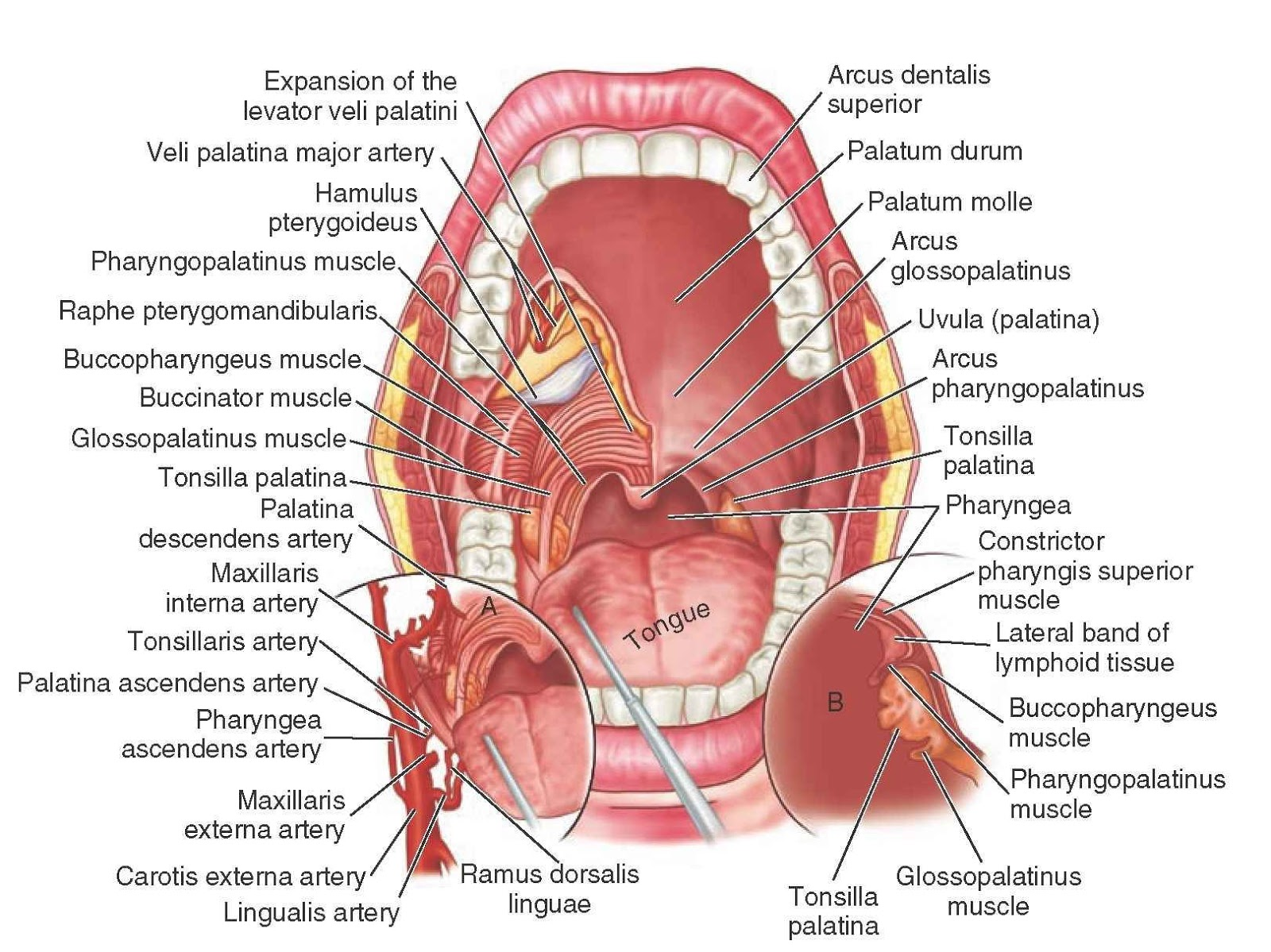 Diagram Of Teeth And Their Numbers Hyundai Wiring Diagrams Free Mouth With Label Coordstudenti