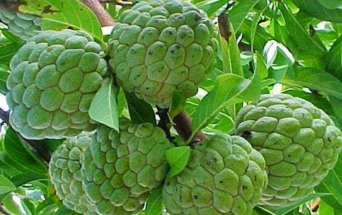 Image result for சீத்தாப்பழம்