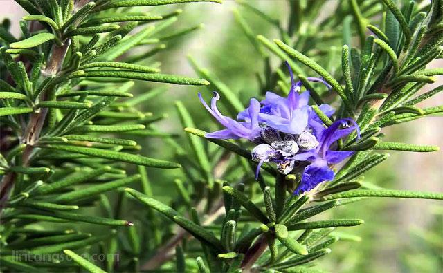 Rosemary tanaman pengusir nyamuk