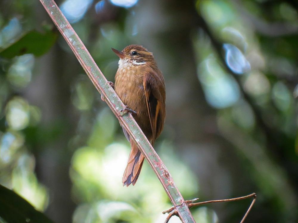 Pássaro Bico-Virado-Miudo (Xenops minutus)