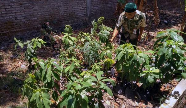 Bibit pohon dari biji buahan-buahan yang sudah tumbuh dan siap dipindahkan