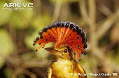 Onychorhynchus occientalis