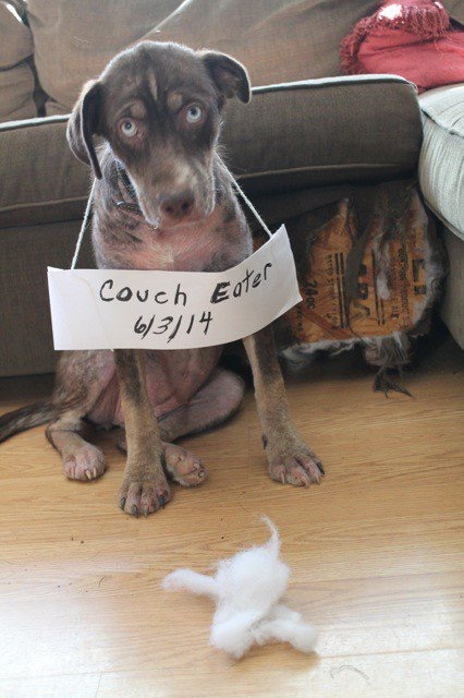 Funny Couch Eater Dog Shaming Picture