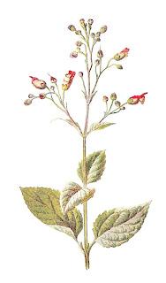 wildflower image flower download digital illustration antique
