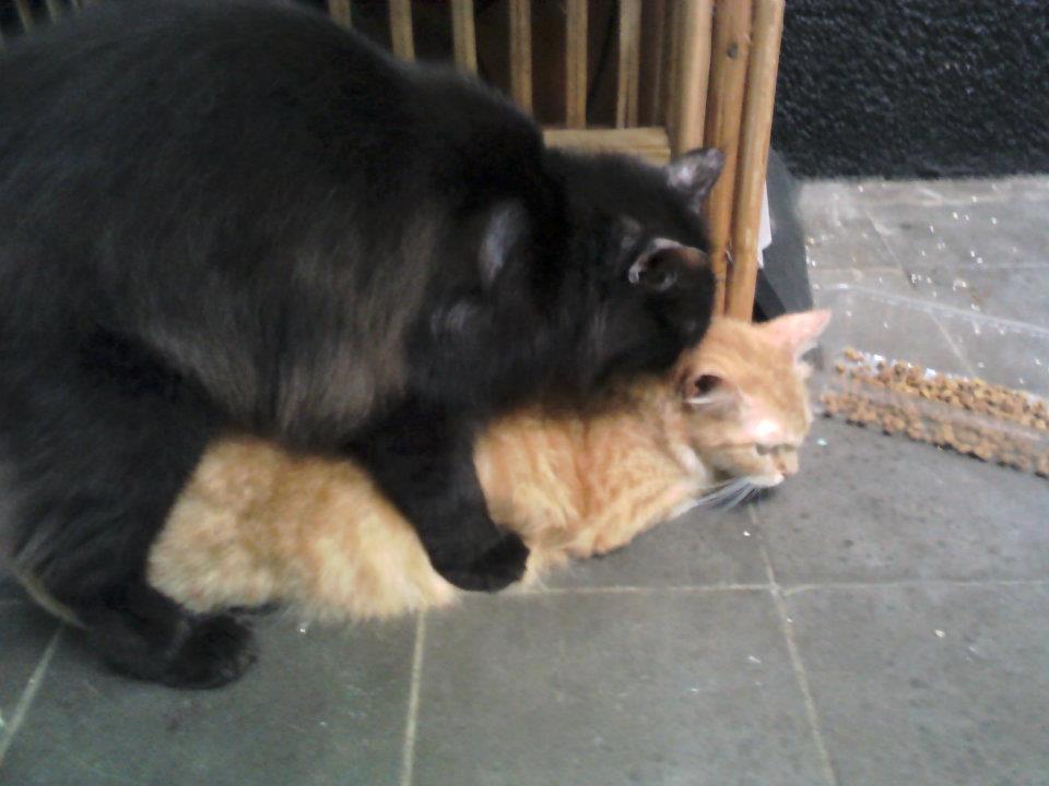 Zona Kucing Cara Mengawinkan Kucing Kimpoi Time 3