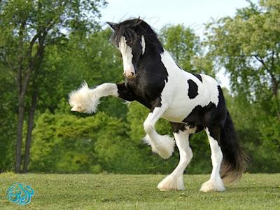 صور حصان عربى اصيل 2019 اجمل الصور للخيول العربية الاصيلة