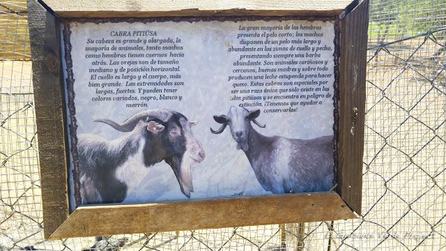 Cartel Cabra Pitiusa en Can Muson - Ibiza por El Guisante Verde Project