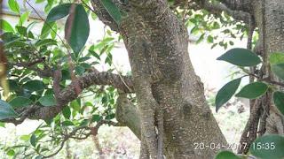 Batang Pohon Kimeng (Ficus Microcarpa)