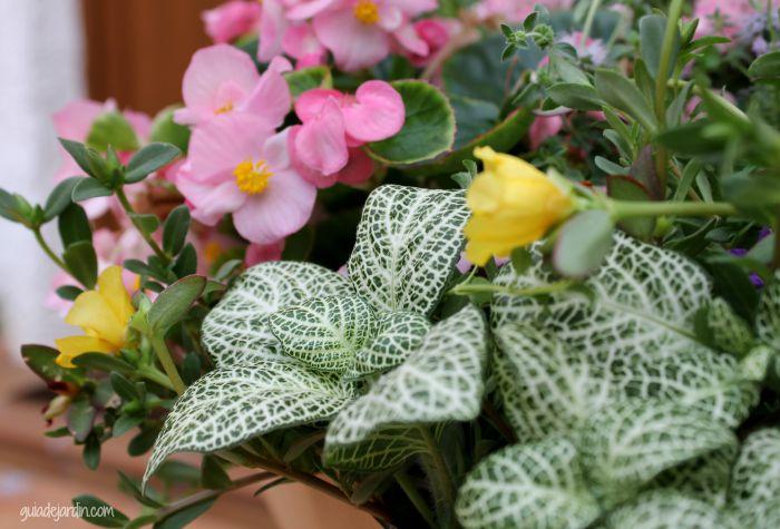 Hypoestes: planta de hojas vistosas