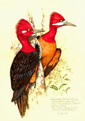 Red necked Woodpecker