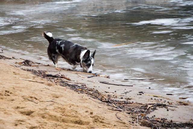 narew, zegrze, zalew zegrzyński, zalew, woda, pies w podróży, podróże z psem, z psem nad wodą, narew, plaża, plaża nad zegrzem, yuma, biba, twiggy, corgi, welsh corgi, welsh corgi cardigan, cardigan