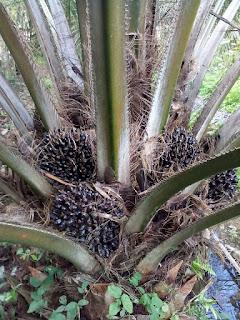 Pupuk terbaik untuk kelapa sawit