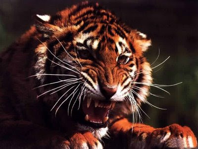 angry tiger face wallpaper - photo #23