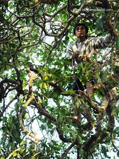 Bisa memanjat dan memetik sendiri buah jamblang di pohonnya