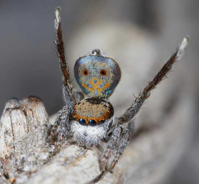 Photos of New Peacock Spider Species Uncovered
