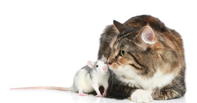 Ratos são atraídos pelos gatos quando infectados por um parasita que altera o seu cérebro