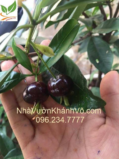 Cherry Brazil, Anh Đào xứ nhiệt đới