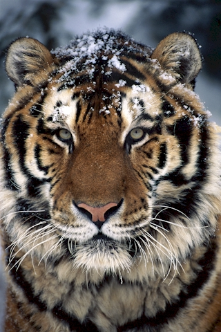 Baby tiger iphone wallpaper - photo#52