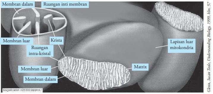 Beginilah Struktur Dan Fungsi Mitokondria Beserta Gambar