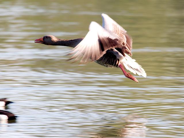 Graugans - Anser anser - Greylag Goose - Eine Graugans im Flug